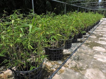 運用綠竹健康種苗 種出高品質綠竹筍