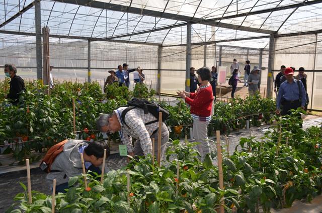 圖3、彩椒品種比賽與會者田間參觀。