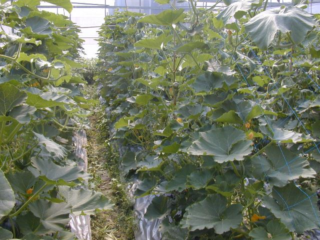 Fig 2. Cultivation of pumpkins in net house to improve the quality and prevent from pests and diseases.