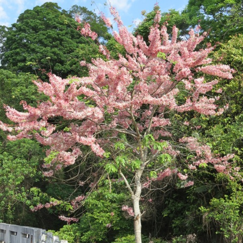 Fig. 1 The whole tree filled with pink flowers ─ pink shower tree.