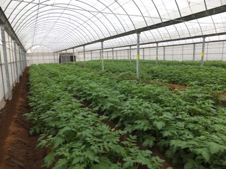 Fig 2. The greenhouses for healthy foundation seed potatoes (G2) production