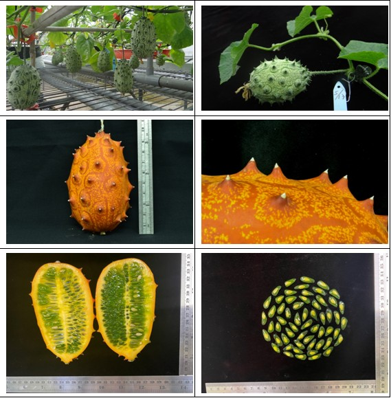 Figure legend: The ring-mottled, orange-color fruits of C. metuliferus, the African horned melon or commonly named devil fruit. The jelly-like embryo sac and edible seeds tasted like cucumber with little sour and sweet flavor. C. metuliferus is highly resistant to PRSV infection which is lacking in cultivated melon.